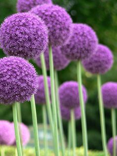 Allium Giganteum - I got two of these for next spring!