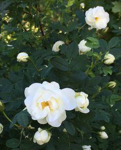 nunavut flower