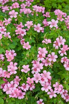 Geranium 'Wargrave Pink', Hardy Geranium                                                                                                                                                                                 More