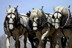 Three Hitch, Percherons