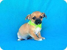 Burbank, CA - Chihuahua Mix. Meet Allister, a puppy for adoption. http://www.adoptapet.com/pet/14947784-burbank-california-chihuahua-mix