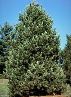 Arolla Pine (Pinus cembra)