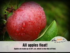 Amazing Apple Facts All apples float! - Apples are made of air, which is why they all float. Amazing Food Facts, Fascinating Facts, Good To Know, Did You Know, Apple Facts, Apple Unit, Joy Of Living, True Nature, Give Thanks