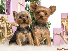 Festive photo cute Yorkshire Terriers.