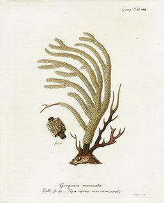 Johann Esper Die Pflanzenthiere Coral Prints 1791