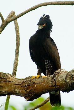 Black hawk-eagle // Aigle tyran (Spizaetus tyrannus) Mexique -