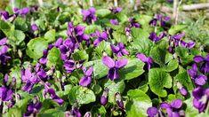 Fialka, violka vonná (Viola odorata) pomáhá léčit kašel, stres či revma a uplatní se i v kuchyni. Recepty na fialkový olej, sirup, ocet, čaj a kandované fialky Parsley, Fragrance, Herbs, Plants, Kurdistan, Europe, Ornamental Plants, Florals, Lawn And Garden