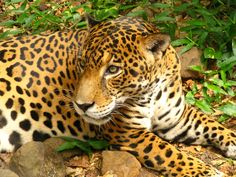 Jaguar (Panthera onca)  #CostaRicaWildlife #SustainableTourism  www.cooltour.cr