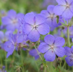 Geranium 'Johnson's Blue' makes soft mounds of green leaves from mid-spring followed by blue flowers in in early summer.  Cut back after flowering and you will get a second flush later in the summer.