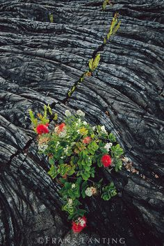Ohia lehua blooming in lava rock, Metrosideros polymorpha, Hawaii Volcanoes National Park, Hawaii