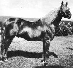 Jubilee King, uno de los mejores sementales sobre los que se fundó la raza American Morgan Horse