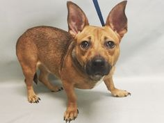 WILLOW - 9440 - - Manhattan  TO BE DESTROYED 10/24/17 **NEW HOPE RESCUE ONLY** -  Click for info & Current Status: http://nycdogs.urgentpodr.org/willow-9440/