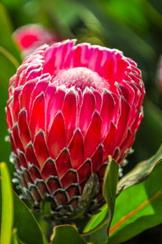 Proteas seem tricky to grow, but with this full guide, you can conquer it! The secret to growing proteas is to mimic their natural growing conditions. Waratah Flower, Protea Flower, Flora Flowers, Exotic Flowers, Amazing Flowers, Beautiful Flowers, Lilies Flowers, Cactus Flower, Purple Flowers