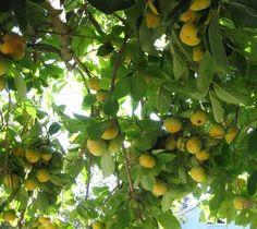 MEYVE   &  OBST  ================= Plum, Fruit, Food, Food Drink, The Fruit, Meal, Essen, Hoods, Meals