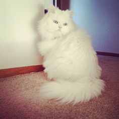 My pretty kitty! Pretty Kitty, Pretty Cats, Baby Live, White Cats, Losing Her, I Love Cats, Adoption, Animals, Foster Care Adoption