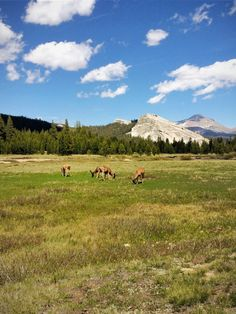 Tuolomne Meadows #yosemite #national #park #meadows #deer #blue #clouds #green #grass