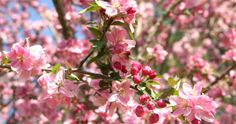 How to Grow and Care for Flowering Crabapple Trees - Ask.com