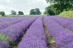 Somerset Lavender: Horsepond Farm, Bishop St, Faulkland, Somerset
