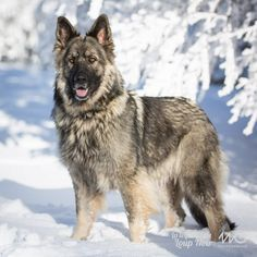 Wicked Training Your German Shepherd Dog Ideas. Mind Blowing Training Your German Shepherd Dog Ideas. German Shepherd Facts, German Shepherd Puppies, Funny German Shepherds, German Shorthaired Pointer Black, Shiloh Shepherd, Pointer Puppies, Gsp Puppies, Schaefer, Dog Activities