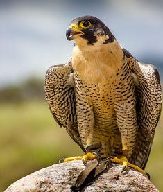 Settin' Pretty by Keith Robbins / 500px Birds Of Prey, All Birds, Animals And Pets, Cute Animals, Peregrine Falcon, Tropical Birds, Big Bird, Bird Pictures, Bird Watching