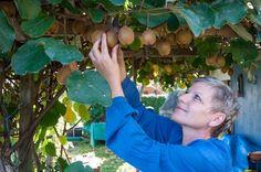 Kiwi richtig pflanzen, pflegen und schneiden