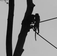 Philippine macaque, Philippine Eagle Center, Davao, July 13th.