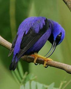 purple honeycreeper