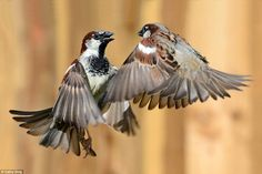 Two sparrows are captured in flight by Cathy Doig from Kent who was runner up in the categ...