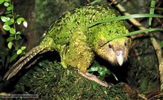 Kakapo also known as owl parrot. Critically endangered and the world's only flightless parrot Flightless Parrot, Kakapo Parrot, Parrot Facts, Ugly Animals, Ugliest Animals, Rare Birds, Prehistoric Creatures, Animals Of The World, Endangered Species