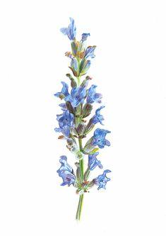 Illustraciencia 6 Lavender, Plants, Plant, Planets