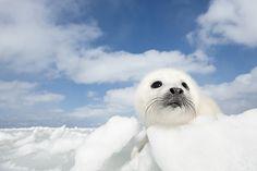 Harp seal pup (Phoca groenlandicus) on pack ice Magdalen Islands, Gulf of St. Lawrence, Quebec, Canada www.daisygilardini.com