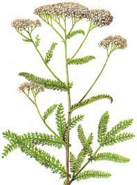 Ryllik (Achillea millefolium)