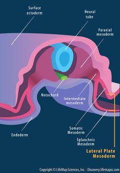 Embryology - mesoderm