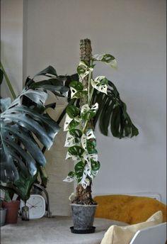 Ornamental Plants, Foliage Plants, House Plants Decor, Plant Decor, Fast Growing Plants, Variegated Plants, Rare Plants, Cool Plants, Tropical Plants
