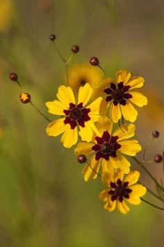 Alabama Coreopsis Tinctoria Wildflowers