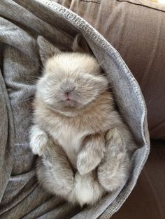 This ball of bunny fluff likes snoozin' on laps