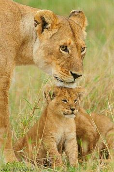 Chin rubs by mama lion