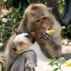Apes and monkies sometimes adopt cats as pets!  Can you say AWWWW??  http://www.environmentalgraffiti.com/animals/news-when-monkeys-keep-cats-pets-0