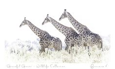A fine art photography gallery based in Capetown, South Africa. Nguni Portraits is a collection of portraits of Nguni Cows. Photography Gallery, Fine Art Photography, Out Of Africa, Beautiful Creatures, Giraffe, Art Gallery, Wildlife, African, Artwork