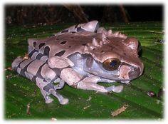 Coronated Treefrog