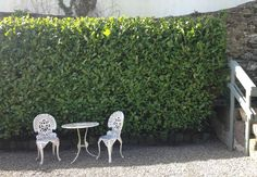 Example of a mature Cherry Laurel hedge, circa  14 feet tall, lovely glossy foliage and easy to maintain http://www.paramountplants.co.uk/plant/PRUNLAUROETNA/prunus-laurocerasus-etna.html