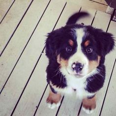 Bernese Puppy! <3 I will get one of these someday!