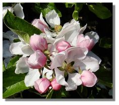 Apple Blossoms, the state flower of Michigan