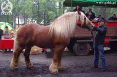 Polish Coldblood - stallion Atos