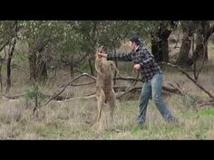 If I wasn't already married I would be adding to my list of what I want in a man 'Kangaroo Punching bad ass' Man Punches Kangaroo In The Face To Save His Dog - YouTube