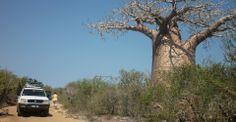 Allée des baobabs (Côte Ouest)