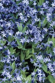 Blue Star Flower  Zone 5-9 Full Sun to Partial This long flowering, compact Amonsia blooms more vigorously than the species, forming a dense mound of dark green leaves that turn a brilliant yellow in the fall. Vivid dark lavender flowers appear in early spring for a wonderful show. 12 - 15 inches high