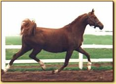 In loving memory - Verdjina (NL) 1989|2007 Chestnut Straight Russian mare. Balaton {Menes x Panagia by Aswan} x Vstrecha {Potomac x Mantuia by Topol} Bred by Tanja & Jürgen Lippert, Lippert Arabians, Germany. Exported to Arabian Fantasie, Netherlands. Exported to Lippert Arabians, Germany. Her last owners were Andrea and Jaap Maclaine Pont - van der Wal, WMR Arabians, NL. Her last foal WMR Verena by MM Sultan was Dutch Nat Ch. 2008
