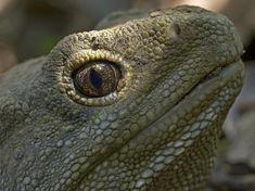 Tough Old Lizard To Face Grave Romantic Troubles, Say Scientists God Bless Us All, Reptiles And Amphibians, Natural World, Amazing Nature, Romantic, Face, Animals, Scientists, Insects