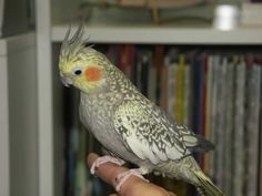 Top 10 Most Affectionate Birds in The World ... ~♥~ ... Cockatiels .. #top #best #image #images #photos #pictures #top_10 ..  #topaffectionatebirds ... ~♥~ SEE More :└▶ └▶ http://www.topteny.com/top-10-most-affectionate-birds-in-the-world/